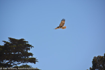 I saw this bird of prey while walking through the park. I actually saw it return to its nest in the Golden Gate National Recreation Area.
